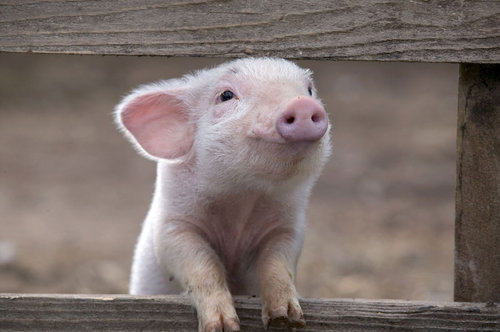 animal-cute-funny-pig-pink-Favim_com-128595_large