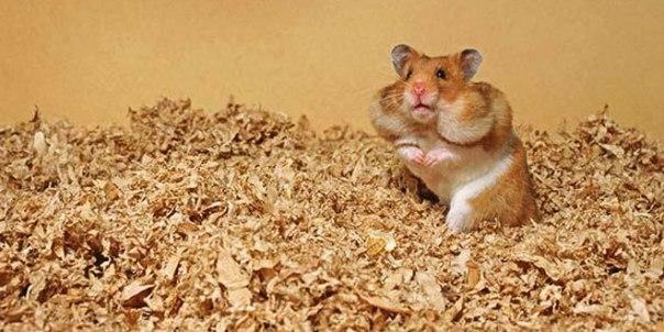 hamster-header1